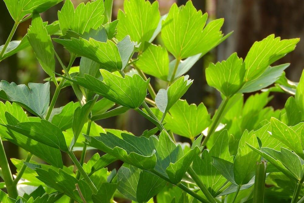 Are Celery Leaves Low FODMAP